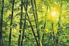 Фотообои: Бамбуковый лес, 366х254 см, 8 частей