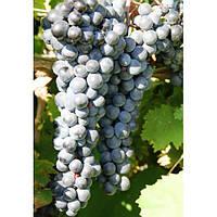 GreenWay Виноград Ливадийский черный