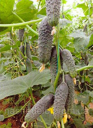 Семена огурца Лютояр F1 500 сем. Yuksel Tohum