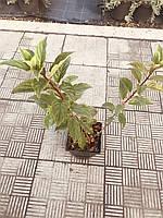 Гортензия метельчатая Pinky Winky, C 1,5л, фото 1