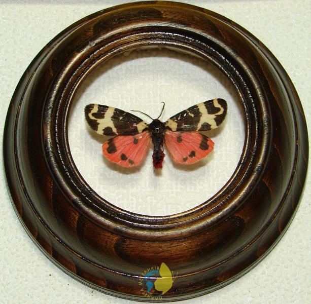 Сувенир - Бабочка в рамке Arctia intercalaris. Оригинальный и неповторимый подарок!