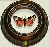 Сувенир - Бабочка в рамке Arctia intercalaris. Оригинальный и неповторимый подарок!, фото 1