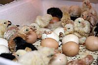 Инкубация яиц в домашних условиях