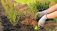 Характеристика посадки смородины осенью