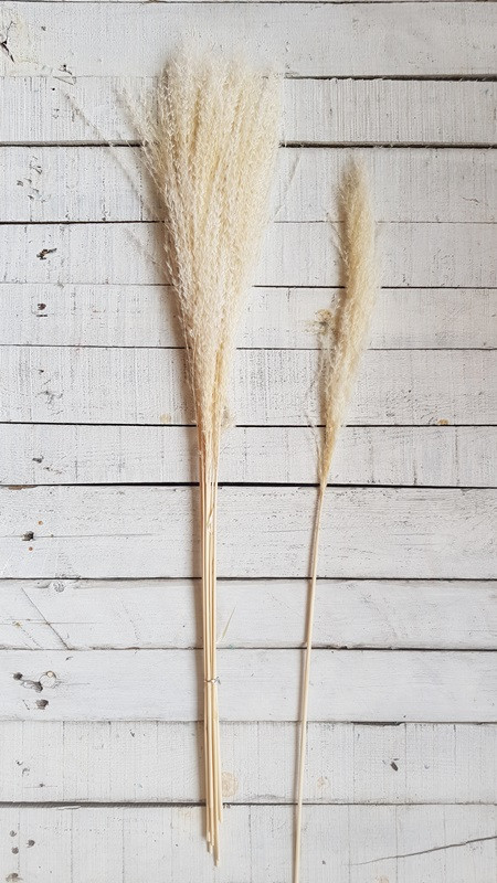 Сухоцвет Кортадерия ( Пампасная трава ) ,   бежевая             10 шт