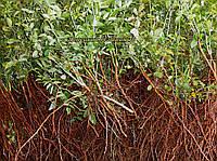 Сеянцы шиповник  Донецкий безшипный, Rosa canina(подвой для роз) 8-12мм