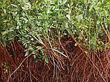 Сеянцы шиповник  Донецкий безшипный, Rosa canina(подвой для роз) 5-8мм, фото 2