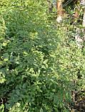 Сеянцы шиповник  Донецкий безшипный, Rosa canina(подвой для роз) 5-8мм, фото 5