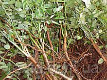 Сеянцы шиповник  Донецкий безшипный, Rosa canina(подвой для роз) 5-8мм