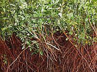 Сеянцы шиповник  Донецкий безшипный, Rosa canina(подвой для роз) 2-4мм