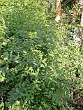 Сеянцы шиповника  Донецкий безшипный, Rosa canina(подвой для роз)1- 2-мм, фото 2