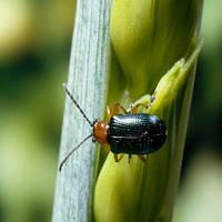 Как избавиться от пьявицы — жука-листоеда