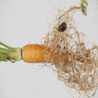 Нематоды — опасные вредители огородных и садовых культур