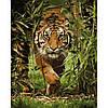 Картина по номерам Король джунглей 40*50см Идейка KHO4043 Раскраска по цифрам, фото 2