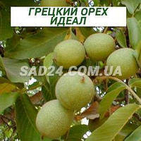 Саженцы грецкого ореха Идеал однолетний