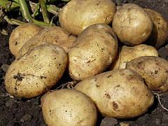 Описание и особенности картофеля сорта Санте