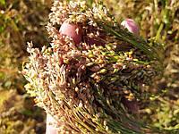 Насіння ультра раннього проса Полтавське Золотисте. Врожайний сорт стійкий до полягання 37ц/га. 1 реп-я