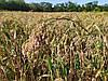 Сорт ультра раннего проса Полтавское Золотистое 45-55 дней. Высокоурожайный сорт проса 37-42 ц/га. 1 репродукция. Мешок: 25,40кг