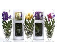 Орхидея Ванда (70см.)