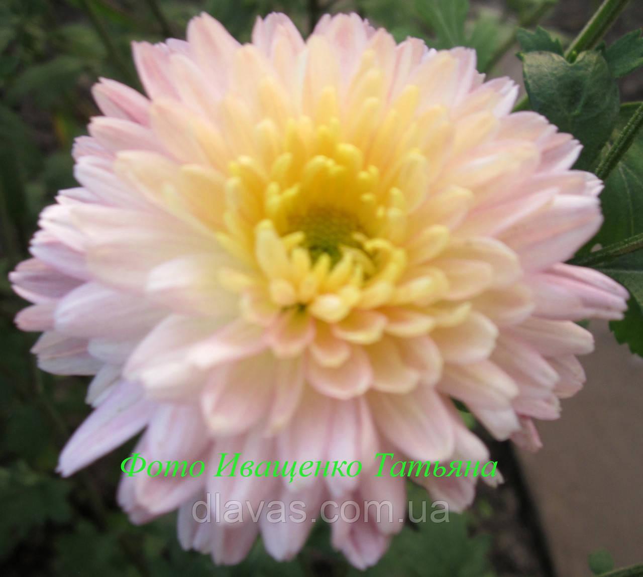 Хризантема ЛЕТНЯЯ розовая корейская цветущая