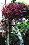 Клематис Purpurea Plena Elegans махровий, фото 4
