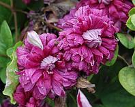 Клематис  Purpurea Plena Elegans махровый, фото 1