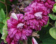 Клематис  Purpurea Plena Elegans махровый