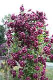 Клематис махровий Purpurea Plena Elegans, фото 3