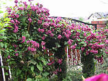 Клематис махровий Purpurea Plena Elegans, фото 2