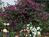 Клематис Purpurea Plena Elegans махровий, фото 5
