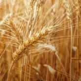 "Пшениця озима ""АРТЕМІДА"" 2015 р."
