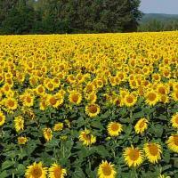 Семена подсолнуха НС-Х-6045 / Юг Агролидер / Насіння соняшнику НС-Х-6045
