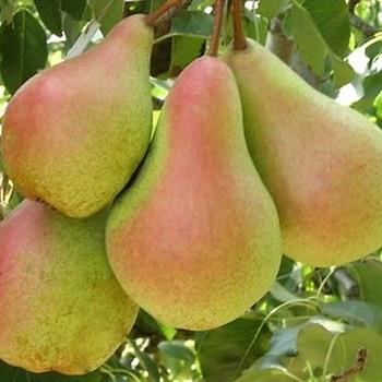 Саджанці зимового сорту груші Лісова Красуня