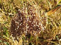 Сорт раннеспелого проса бронзового Золушка 45-50 дней. Урожайный сорт проса 35-40 ц/га. Два урожая в году.