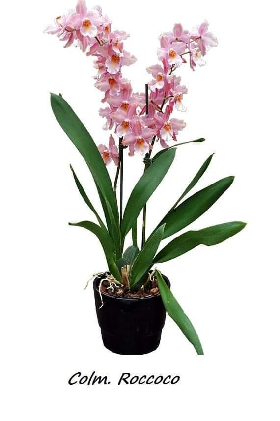 """Подростки орхидеи. Colmanara Rococo, размера 1.7"""" без цветов."""