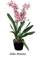 """Подростки орхидеи. Colmanara Rococo, размера 1.7"""" без цветов., фото 1"""