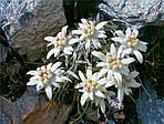 Эдельвейс (Leontopodium alpinum)