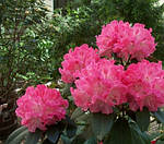 Альпийская роза (Rhododendron ferrugineum)