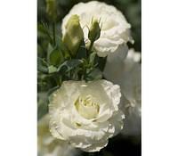 Семена Эустома (лизиантус) Мариачи F1 Пур Вайт (Pure White)  50 семян Sakata