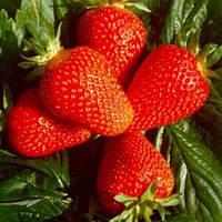 Клубника Альба (Alba) - очень ранняя, крупноплодная, урожайная