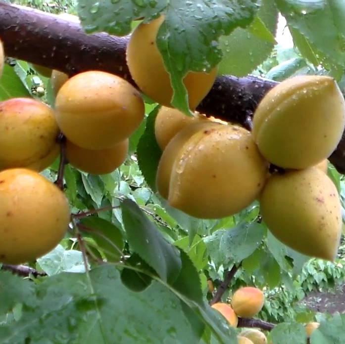 Абрикос Манитоба 604 - средний, яйцевидный, урожайный