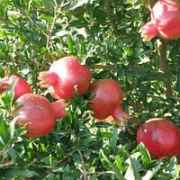 Гранат Гюлоша розовая - среднего срока созревания, крупноплодный, тонкокорый