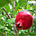 Гранат Крымский полосатый - ранний, крупноплодный, зимостойкий, фото 2
