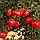 Гранат Крымский полосатый - ранний, крупноплодный, зимостойкий, фото 3