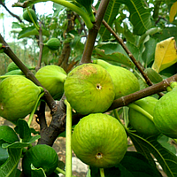 Инжир Закавказский зелёный (Transcaucasian Green) - ремонтантный, самоплодный, сладкий