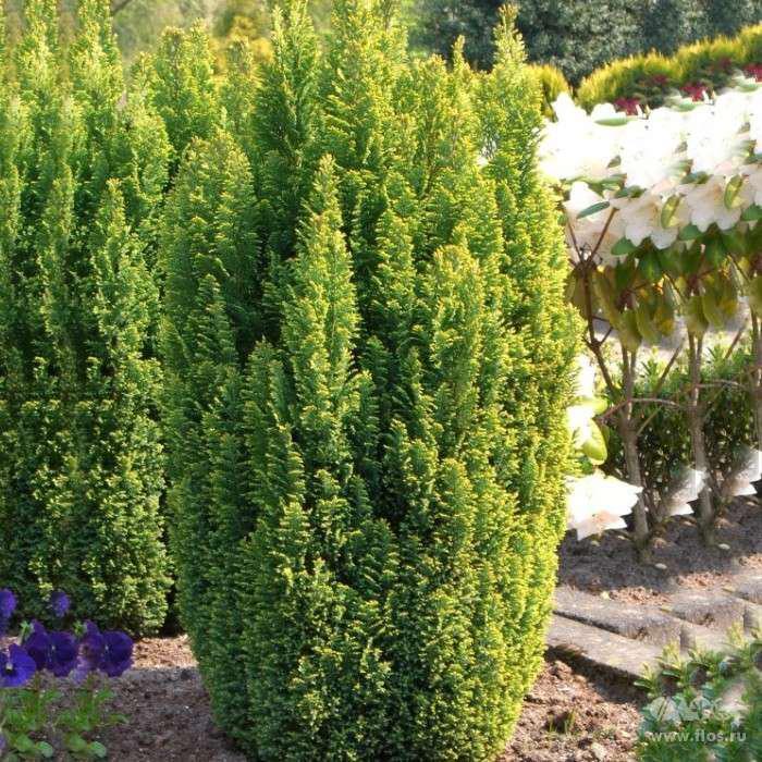 Кипарисовик Лавсона Элвуди Голд (Chamaecyparis lawsoniana Ellwood's Gold)