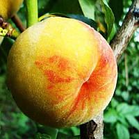 Персик Вайн Голд Т3  - крупноплодный, средний, урожайный