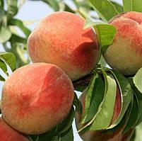 Персик Виргил Т4 - средне-поздний, крупноплодный, зимостойкий