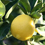 Особливості вирощування цитрусових в домашніх умовах в горщику