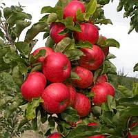 Яблоня колоновидная Баргузин - осеннего срока, урожайная, морозостойкая